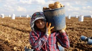 Yerli tohumluk patates üreticisini sevindirdi