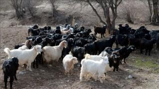 Bakan Pakdemirli'den koyun ve keçi yetiştiricilerine müjde